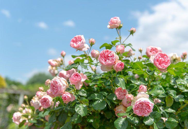 Розы весной после зимовки