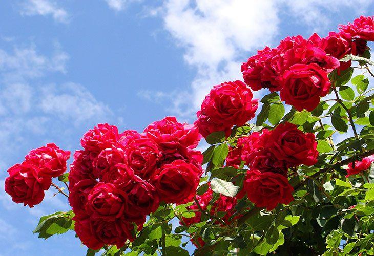 Цветущие красные розы