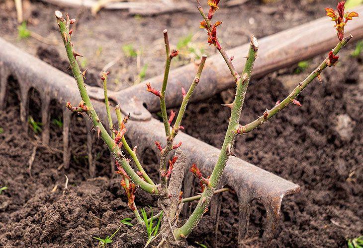 Рыхление почвы вокруг розы