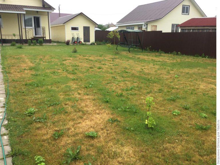 Почему газон желтеет и сохнет