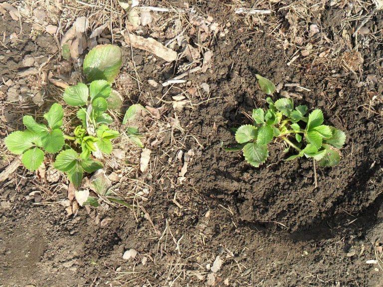 Как пересадить клубнику весной на новое место, чтобы она плодоносила